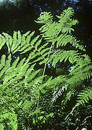 Bracken Pteridium aqilinum