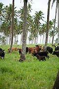 Cattle in Cococnut palms, Taveuni, Fiji