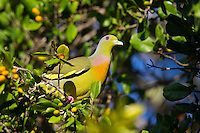 Orange-breasted Green Pigeon (Treron bicinctus), Yala National Park, Sri Lanka