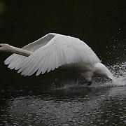 Ducks, Geese, Swan