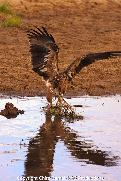 Tawny Eagle (Aquila rapax) perched ona  branch in the water with wings extended, Tarangire National Park, Tanzania, Africa; bird of prey; carnivore