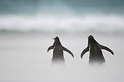 Auf ihren Weg von der Brutkolonie  zum Meer überqueren die Eselspinguine  (Pygoscelis papua) den breiten Sandstrand. An besonders windigen Tagen fegt ein regelrechter Sandsturm darüber hinweg. Saunders Island, Südatlantik, Falklandinseln | Commuting between the ocean and the rookery the Gentoo Penguins (Pygoscelis papua) cross the sandy beach. On stormy days  the sand is whirled up.
