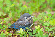 He/she probably doesn't means to look so grumpy! This baby bluebird fell from his house but a helpful birder-my wife Nancy- got him back to safety right after getting this shot.