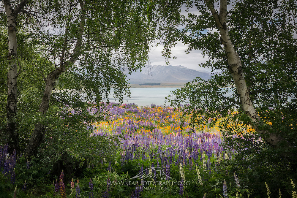 A meadow of orange poppies and purple lupins nicely framed by shaded trees, along the banks of Lake Tekapo, New Zealand
