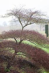 Structural form of Cornus alternifolia 'Argentea' AGM syn. Cornus alternifolia 'Variegata' in winter - Silver pagoda dogwood.