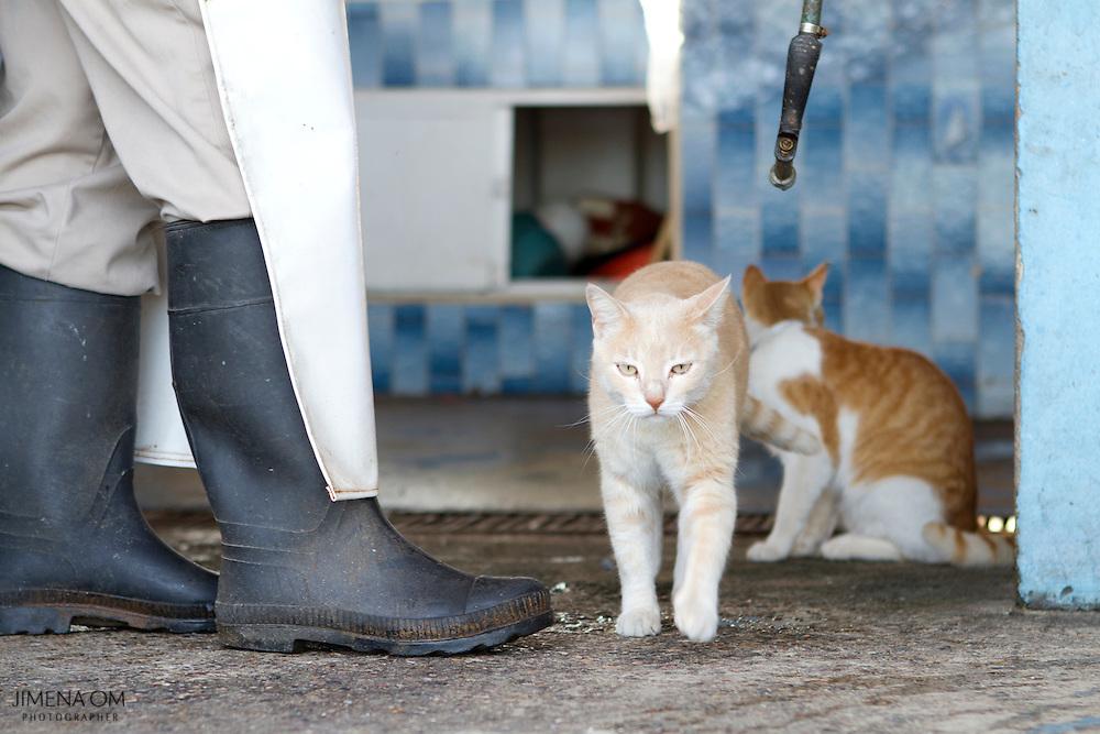 Un gato pasea por la Cooperativa de Pescadores Rosita en Puerto Vallarta.