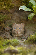 Bank Vole (Clethrionomys glareolus) adult emerging from burrow, South Norfolk, UK. March.