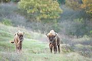Two European bison (Bison bonasus) standing in dune landscape
