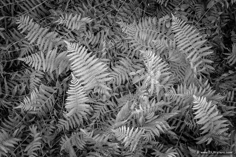 A study of ferns in black and white photographed at Festival Park, Manteo NC.