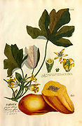 Coloured Copperplate engraving of a Papaya fruit blossoms and plant from hortus nitidissimus by Christoph Jakob Trew (Nuremberg 1750-1792)