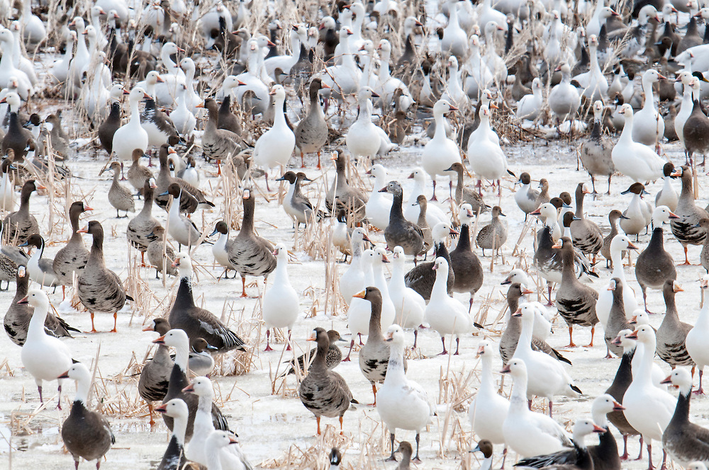 Snow Geese, Greate White-fronted Geese, Chen caerulescens, Anser albifrons, Brown County, South Dakota