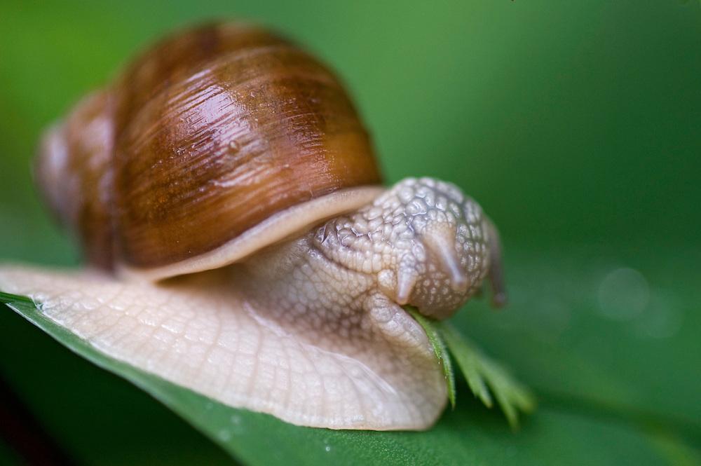 Edible snail (Helix pomatia).<br /> Stockholm Archipelago, Sweden