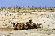 GOBI DESERT, MONGOLIA..08/28/2001.Mount Burkhan Khailaast. Camels..(Photo by Heimo Aga).