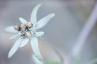 Leontopodium alpinum; Edelweiss, Malbun, Liechtenstein