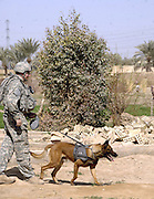"""FOB Liberty, IRAQ - <br /> <br /> Navy SEAL Dog That ended bin Laden's reign of terror forever<br /> <br /> Dogs of War<br /> It Took a dog to corner a Rat!, In a hellish nightmare of smoke, explosions, gunfire, screams and confusion, Navy SEAL Team Six commandos stormed the pitch-black, fortified compound in Pakistan - believing, but not for knowing for sure, it was the lair of Osama bin Laden.<br /> <br /> There was no time for a room-by-room search. At the moment, Pakistani jets might scramble to blow the attackers helicopters out of the sky, and initially stunned bodyguards would have time to grab their weapons. But one attacker knew exactly where bin Ladden was, and led SEAL sharp shooters directly to where the terror leader was cowing behind one of his wives.<br /> <br /> That super commando? A very special, highly trained Super Dog!<br /> The Four legged SEAL had been given the Al-Qaida leader's scent from a piece of his clothing previously smuggled out of the compound. Tracking the scent, the hero dog ignored the raging firefight around him and flew  up the stairs like a heat-seeking missile towards his target.<br /> <br /> The Four legged Terrorist fighter followed his nose to the third floor quickly leading the commandos to bin Ladden, who was shot and killedas he tried to grab his AK-47 rifle.<br /> <br /> The mission began with the fearless animal being lowered from a helicopter into bin Ladden's walled compound. Commandos began engaging the enemy and rounding up bin Ladden family members as the dog raced toward Target No. 1.<br /> <br /> Incredibly, SEAL dogs can sniff out the scent of a particular enemy from up to two miles away and, should their target run, take him down.<br /> <br /> """"They can run up to 30mph"""", Alex Dunbar, a colorado based former Marine who trains special operations dogs for the U.S. Military.<br /> <br /> SEAL dogs are trained to wear and utilise special combat gear. They are protected by armoured vests and may also wear """"doggles"""" """