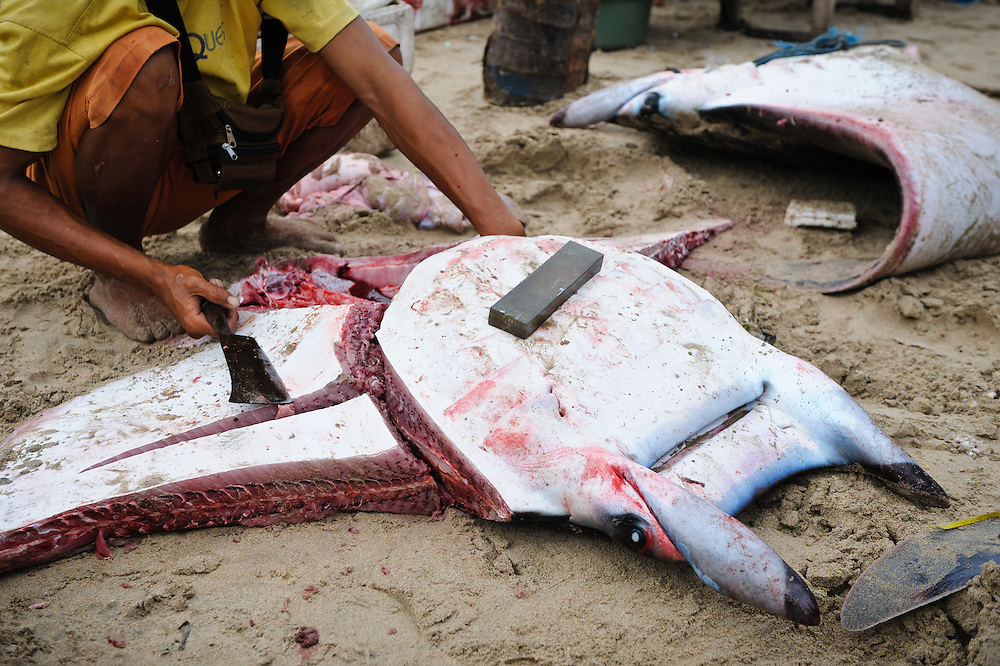 Mobula rays caught by fishermen, Bali, Indonesia. The fisherman is cutting meat from the ray, which is then sold for food. In recent years, demand for gill rakers from mobula and manta rays for use in traditional Chinese medicinal preparations has dramatically increased. These rays are now being targeted by fishermen, and populations are threatened.