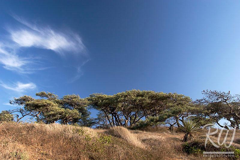 Torrey Pines and Clouds, Torrey Pines State Reserve, La Jolla, California