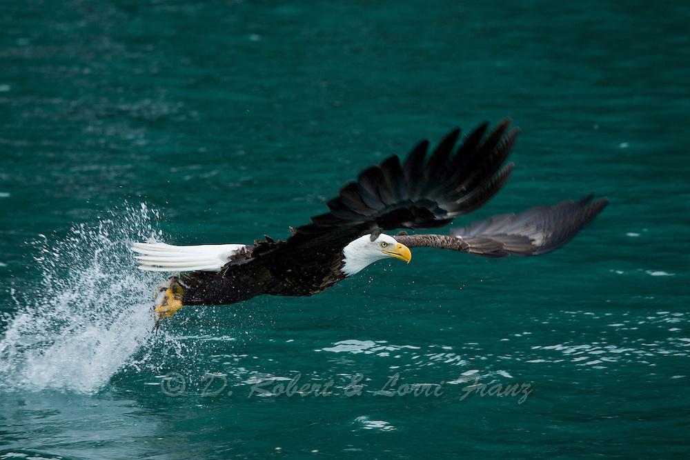 Bald eagle fishing in Alaska