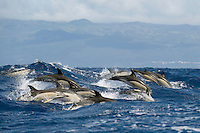 Common dolphin. Delphinus delphis, Pico, Azores, Portugal.