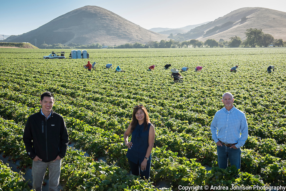 Madison Farms strawberry harvest, Salinas, California