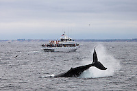 A humpback whale (Megaptera novaeangliae) flapping its tail in the Monterey Bay with a whale-watching boat in the background.