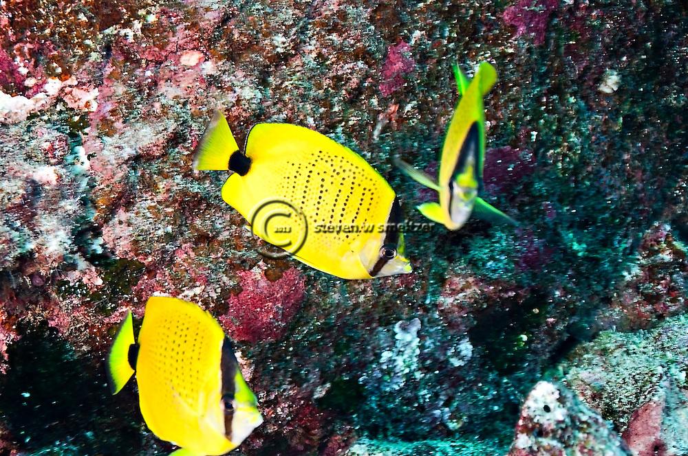 Milletseed Butterflyfish, Chaetodon miliaris, Quoy & Gaimard, 1824,  Molokai Hawaii