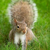Gray squirrel in backyard habitat, with raised tail. 2020 Willow Creek Press calendar selection.