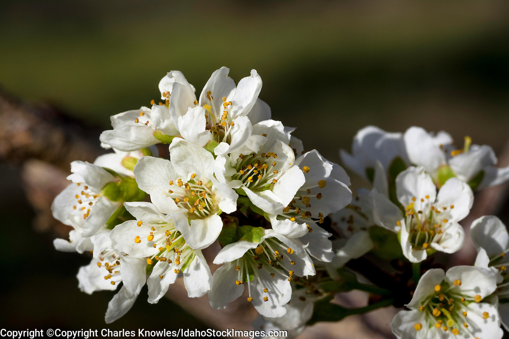 Closeup of pluot flowers in spring.