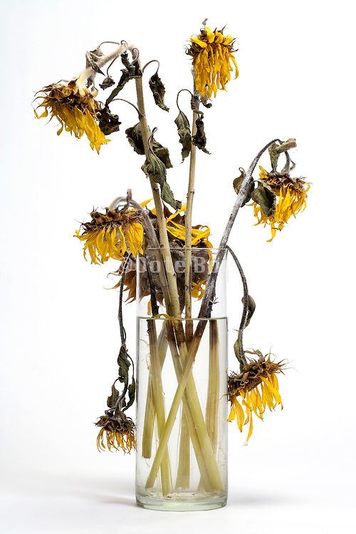 dying sunflowers in a vase with fresh clean water
