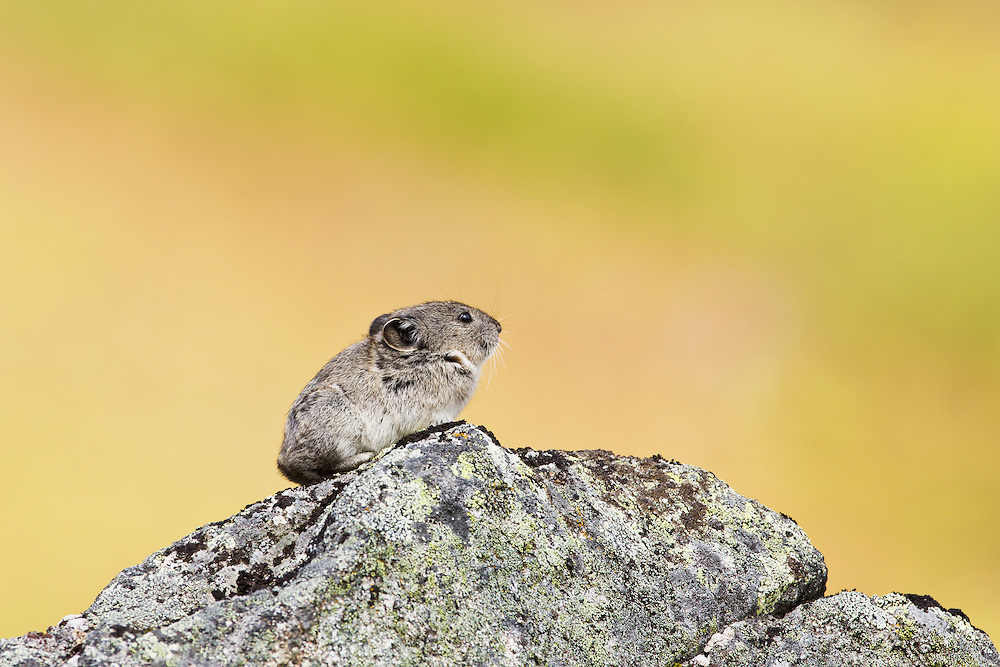 Collared Pika (Ochotona collaris) sitting on talus boulder in Summit Lake Recreation Area at Hatcher Pass in Southcentral Alaska. Summer. Afternoon.