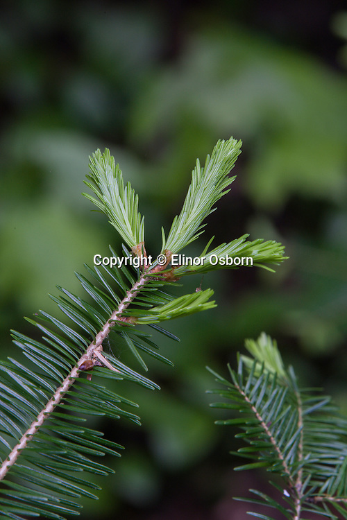 new growth on balsam fir