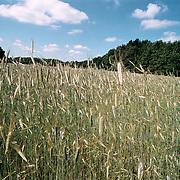 Korenveld Blaricum