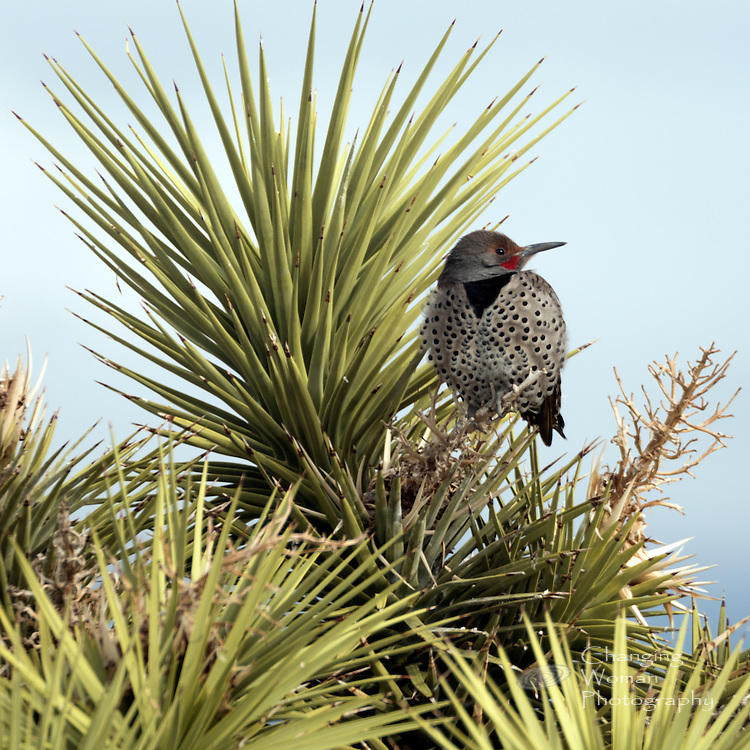 "Yellow-shafted northern flicker has red ""mustache"" and golden underwings like the gilded flicker more common to southwestern Arizona and western Mexico near the Sea of Cortez."