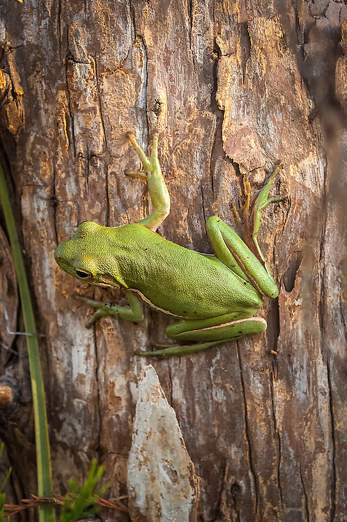 Very similar to its cousin, the green treefrog, the squirrel treefrog is a very common inhabitant of wetlands across the Southeastern United States.