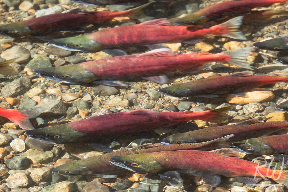 Kokanee Salmon Spawn at Taylor Creek, South Lake Tahoe, California