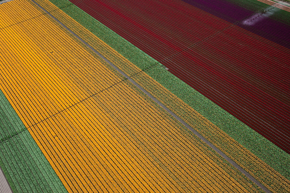 Nederland, Flevoland, NOP, 28-04-2010; bloembollenvelden in de Noordoostpolder, omgeving Creil, voornamelijk tulpen en narcissen. De polder is een relatief jonge bollenstreek, gekenmerkt door grootschalige teelt. .Flower fields in the Northeast Polder, mostly tulips and daffodils. The polder is a relatively young bulb region, and can be characterized by its widespread cultivation..luchtfoto (toeslag), aerial photo (additional fee required).foto/photo Siebe Swart