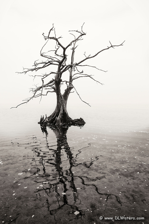 Heavy fog surrounds a cypress tree in Currituck Sound.