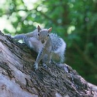 Western Gray Squirrel - Sciurus griseus