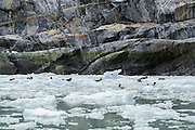 Harbor seals on ice near the Dawes Glacier in Southeast Alaska.