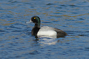 Greater Scaup (Aythya marila) - Summer breeding grounds of the Greater Scaup range across the northern limits of Europe (including Iceland) and Asia, through the Aleutian Islands (year-round breeding) to Alaska (USA), and across to the Atlantic coast of Canada (del Hoyo et al. 1992). It winters further south, reaching California, the great lakes and northern Florida in North America, the Adriatic Sea and northern Black Sea in Europe, the western Caspian Sea, and on the Pacific coast of Asia as far as south-east China (del Hoyo et al. 1992).