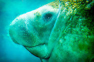 Manatees (Trichechids)