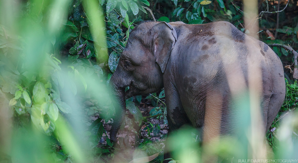 Borneo Pygmy elephant within the Danum Valley Conservation Area (DVCA) in Sabah (Borneo), Malaysia