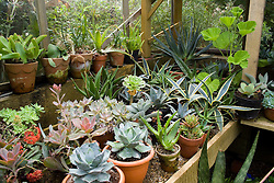 Cacti and succulents on the bench in the greenhouse at Great Dixter