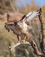 Ferruginous hawk settling in dead tree perch, with wings partially out, © 2012 David A. Ponton