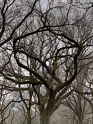 Trees in the Winter, Central Park