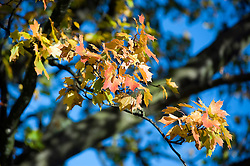 Leaves of a Sycamore tree turn autumnal red and gold against the background of the trees trunk, branches and clear blue sky .20th October 2010 .Images © Paul David Drabble
