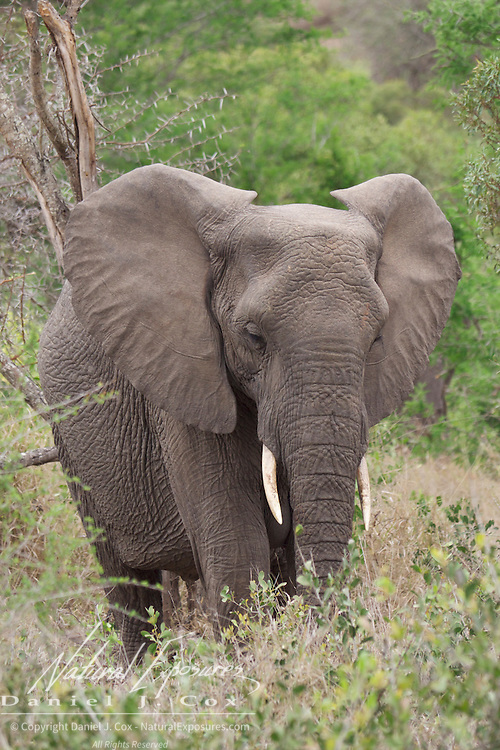 African elephant,  MalaMala Game Reserve. South Africa.