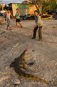 American Crocodile Research (Crocodylus acutus)<br /> San Perdo <br /> Ambergris Caye<br /> Belize,<br /> Central America