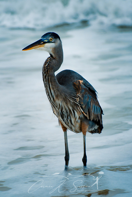A Great Blue Heron stands in the surf Dec. 25, 2011 on Dauphin Island, Alabama. (Photo by Carmen K. Sisson/Cloudybright)