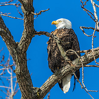 Bald Eagle surveying its territory